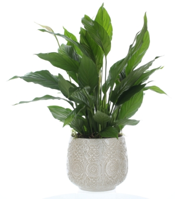 Picture of Pretty Peace Lily Plant